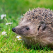Being a Hedgehog: Isolation, Creativity, and Destruction
