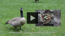 YouTube link to Geese Police